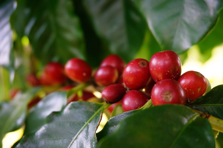 夏威夷咖啡協會 6 月解決葉銹病年度會議